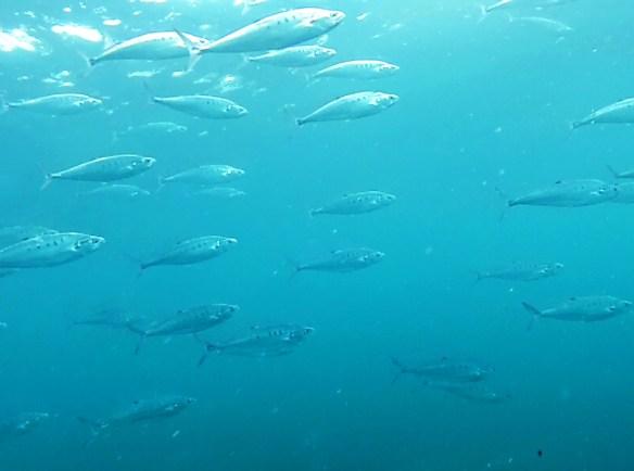 Banc poissons Belitung Indonesie