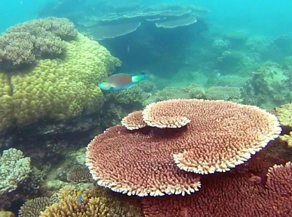 Poisson Perroquet Belitung Indonesie
