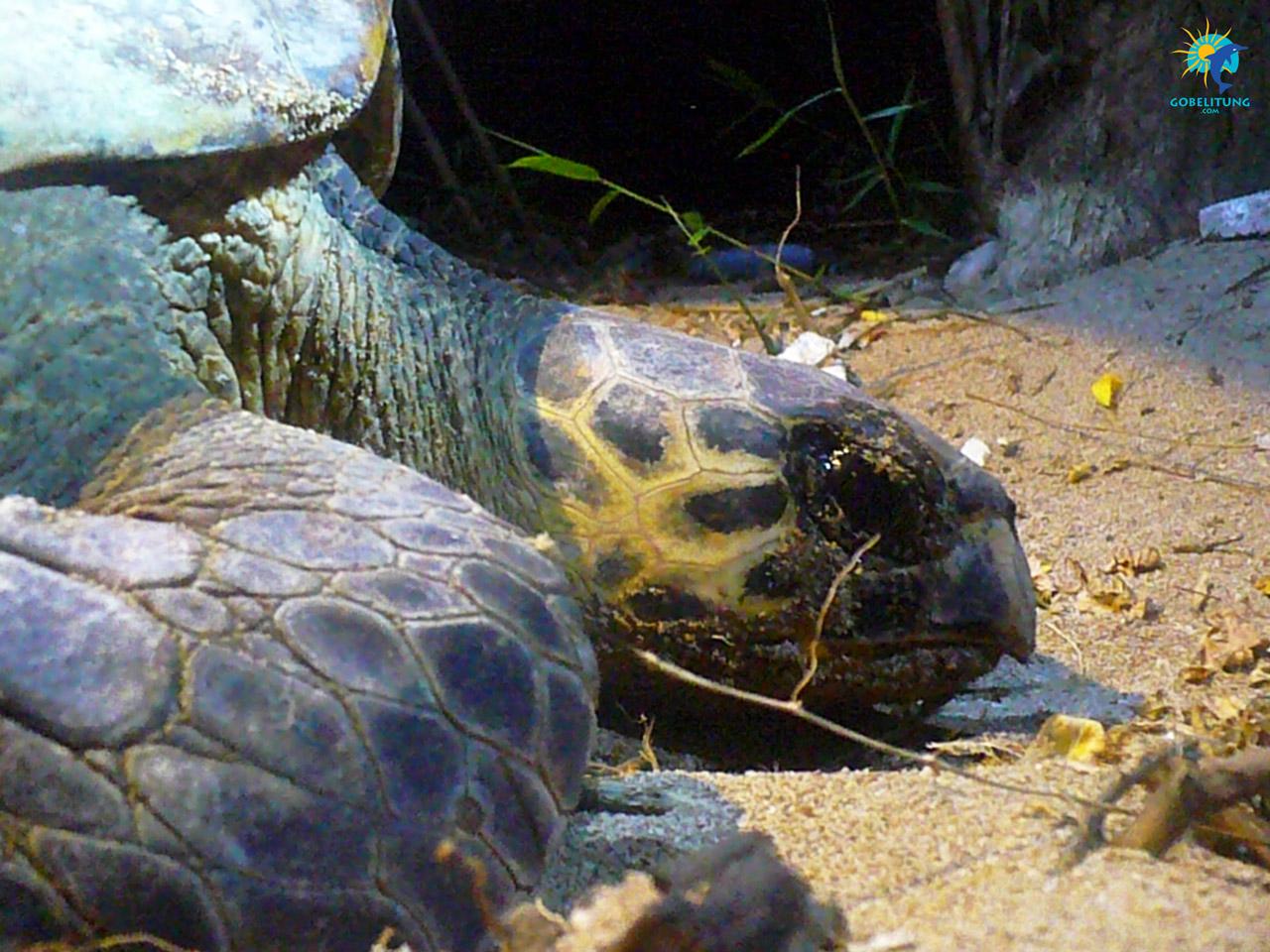 conservation des tortues de mer Belitung GoBelitung Indonesia