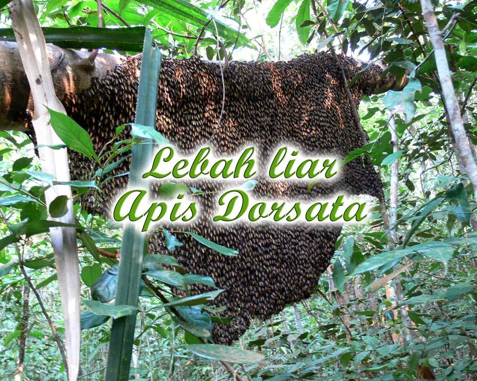 Lebah-liar apis dorsata GoBelitung Belitung Indonesia