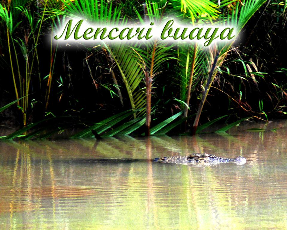 Sedang-mencari buaya GoBelitung Belitung Indonesia