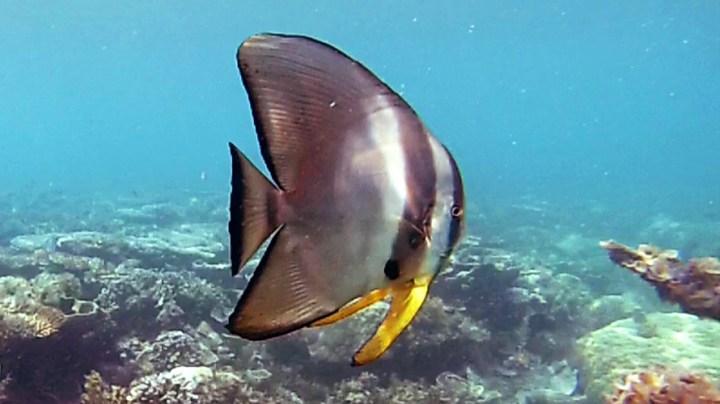 penyu tortue de mer Belitung snorkeling in Belitung wtih GoBelitung Indoensia