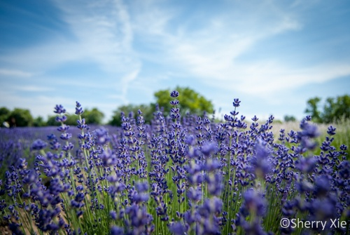 Prince Edward County - Lavender Field