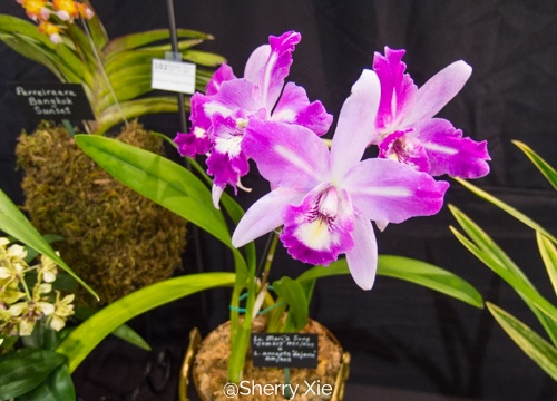 Southern Ontario Orchid Show - Cattleya Mari's Song