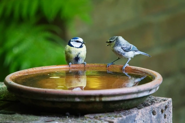 Birds Sitting On Water Dish While Chirping