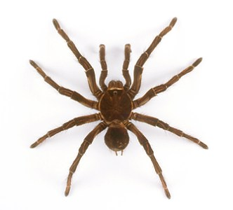 godofinsects com    Goliath Bird Eating Spider  Theraphosa leblondi  139 5 jpg