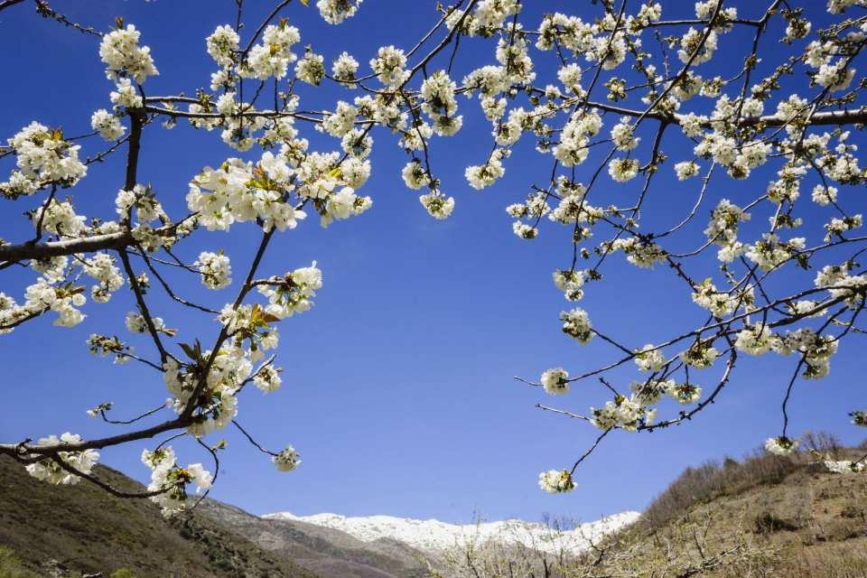 cerezos en flor -Prunus cerasus-, laderas de Piornal, valle del Jerte, Cáceres, Extremadura, Spain, europa