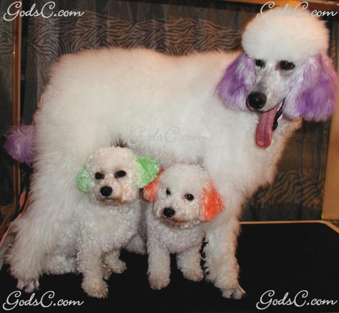 Malti Poo Dog Teacup Maltipoo Puppy Female Iheartteacups Breeds Years Dogs For Sale In Nc Names