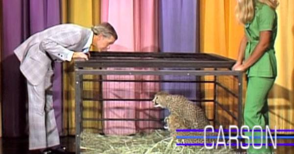 Il ghepardo Johnny Carson si affronta