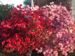 God Who Sees Red & Pink Azaleas