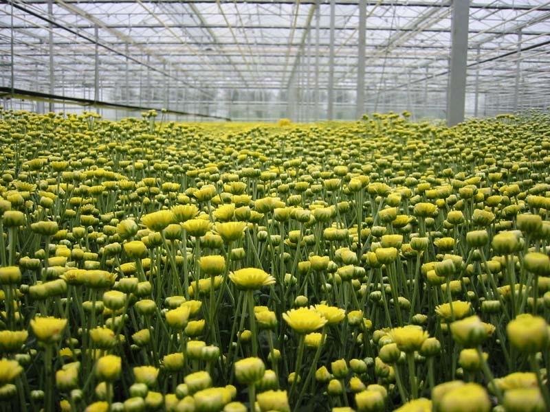 Corona raakt de tuinbouw, de grootste klap lijkt voor de sierteelt.