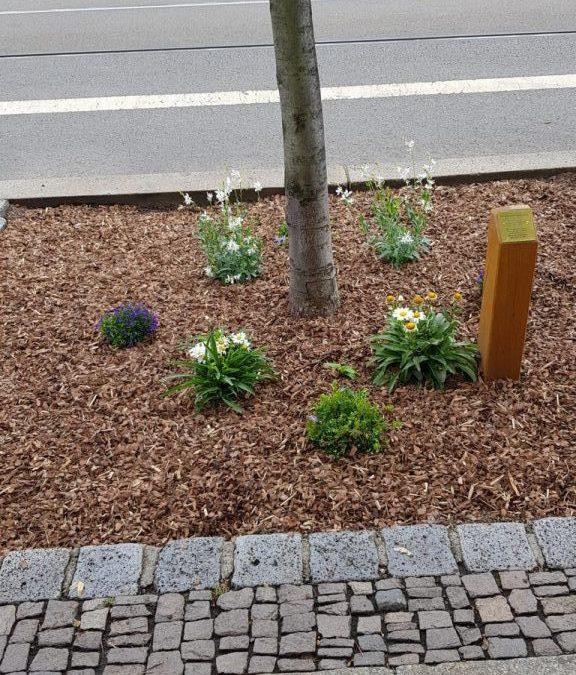 Bürgerverein begrünt die Baumscheibe seines Patenbaumes