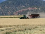 A grain cart being pulled through an organic grain field on the Running Y Ranch.