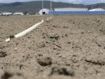 Chipping potatoes peeking through soil in a field at Gold Dust Potato Processors, Malin, OR.