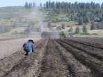 Agronomist, Daniel Jepsen, checking the planting depth of chipping potatoes in a field at the Running Y Ranch.