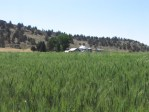A Malin, Oregon wheat field that was growing chipping potatoes in 2012.