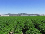 A Malin potato field at Gold Dust Potato Processors.