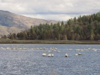 Swans swim in a field on the Running Y Ranch with Oregon Highway 140 in the background.