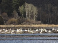 Migratory swans from the Pacific Flyway in a flooded potato field on the Running Y Ranch.