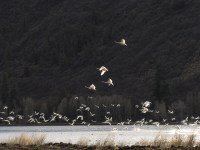 Swans taking flight at the north end of the Running Y Ranch operated by Walker Bros.