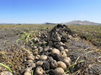 An open row of chipping potatoes waiting to be harvested on the Tule Lake National Wildlife Refuge lease lands.