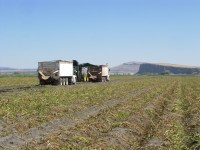 The Peninsula stands tall in the background while Walker Brothers harvest chipping potatoes near Tulelake, California.