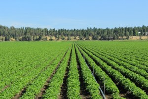 A chipping potato field at Walker Brothers' Running Y farm near Klamath Falls, Oregon.