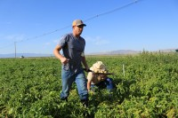Mark Staunton, of Staunton Farms, brings samples of Lamoka potatoes from the field near Tulelake, CA.
