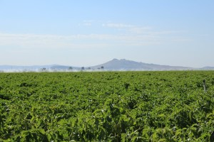 A chipping potato field grown by Staunton Farms, just outside of Tulelake, CA.