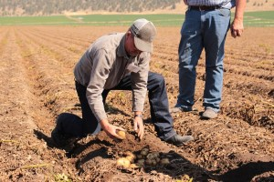 Rob Unruh digging up Dakota Pearl potatoes in a potato field north of Gold Dust Potatoes' Malin, OR campus.