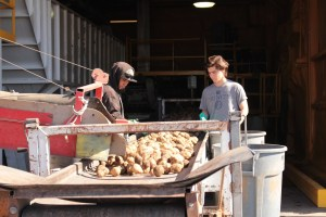 Two employees for Gold Dust Potatoes sort chipping potatoes at the company's Malin, OR campus.