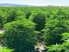 Industrial hemp growing outside of Merrill, Oregon.
