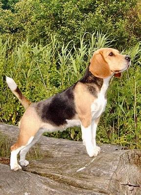 Golden Daylight Beagle Der Beagle 02