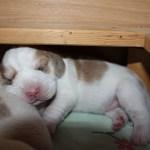 Golden-Daylight-Beagle P-Wurf 1. Woche 06