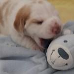 Golden-Daylight-Beagle P-Wurf 2. Woche 08