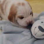Golden-Daylight-Beagle P-Wurf 2. Woche 09