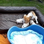 Golden-Daylight-Beagle P-Wurf 3. Woche 17