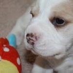 Golden-Daylight-Beagle P-Wurf 4. Woche 04