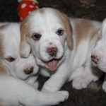 Golden-Daylight-Beagle P-Wurf 4. Woche 06