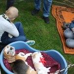 Golden-Daylight-Beagle P-Wurf 4. Woche 10