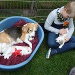 Golden-Daylight-Beagle P-Wurf 4. Woche 14
