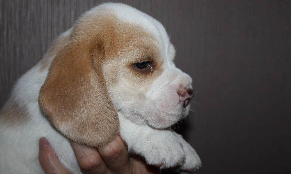 Golden-Daylight-Beagle P-Wurf 4. Woche Kopfstudie Paradise-Boy