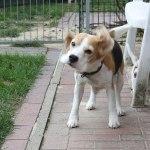 Golden-Daylight-Beagle P-Wurf 5. Woche 04