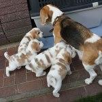 Golden-Daylight-Beagle P-Wurf 5. Woche 08