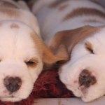 Golden-Daylight-Beagle P-Wurf 5. Woche 09