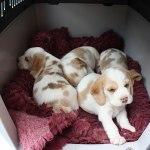 Golden-Daylight-Beagle P-Wurf 5. Woche 11