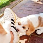 Golden-Daylight-Beagle P-Wurf 6. Woche 06