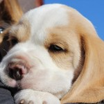 Golden-Daylight-Beagle P-Wurf 6. Woche 11