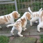 Golden-Daylight-Beagle P-Wurf 6. Woche 16