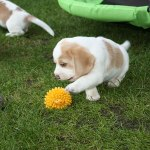 Golden-Daylight-Beagle P-Wurf 6. Woche 21